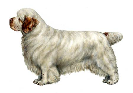 Clumber Ideal Dog
